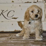 KaCee the Cavachon