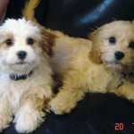 Cavachon Puppies Playing