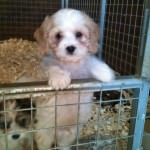 Barney the Cavachon