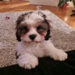 Casper the Cavachon