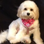 Abby the Cavachon