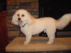 Cavachon After Grooming