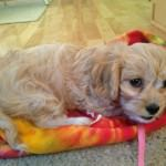 Alice the Cavachon