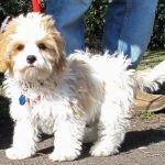 Bailey the Cavachon