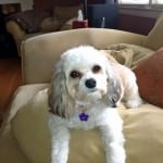 Bella the Cavachon