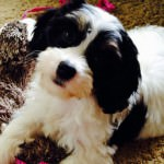 Boots the Cavachon