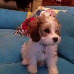 Boston the Cavachon