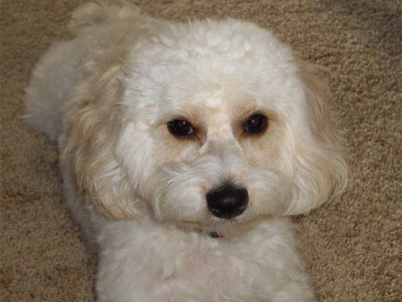 cavachon-dog-breed-info