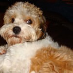 cavachon dog on couch
