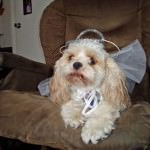 Cavachon in Costume