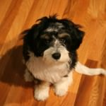 Black and White Cavachon