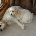 Cavachons Laying Together