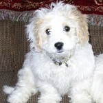 Clark the Cavachon
