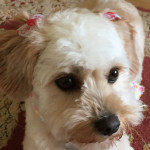 Holly the Cavachon