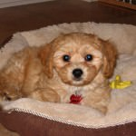 Cavachon in Bed