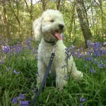 cavachon-in-flowers