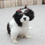 Kady the Cavachon