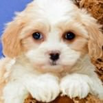 Lil Biscuit the Cavachon