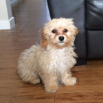 Lili Haf the Cavachon