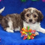 Miley the Cavachon