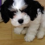 Oscar the Cavachon