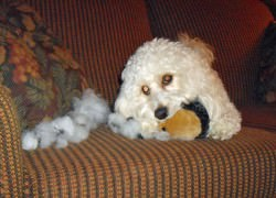 Cavachon Playing