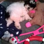 Poppy-Belle the Cavachon