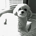 Sadie the Cavachon
