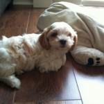 Cavachon named Sidney