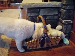 Cavachon Toy Basket