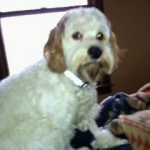 Tucker the Cavachon