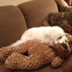 Cavachon biting stuffed dog