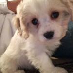 Chloe the Cavachon