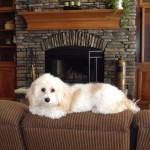 Cavachon on couch
