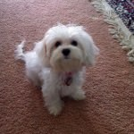 Evie the Cavachon