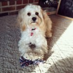 Izzy the Cavachon