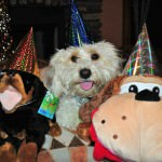 Cavachon 4 Years Old Birthday