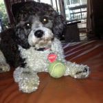 Keely the Cavachon