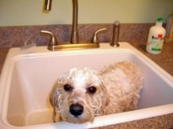 Bathing Cavachons