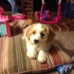 Bentley the Cavachon