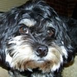 Black & White Cavachon