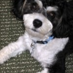 Beau the Cavachon