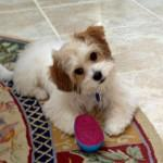 Benji the Cavachon