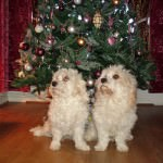 Bobby and Oscar Cavachons