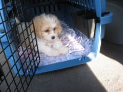 Cavachon Going Home