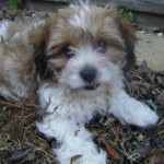 Merlin the Cavachon