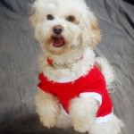 Cavachon in Christmas Sweater