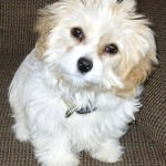 Lewis the Cavachon