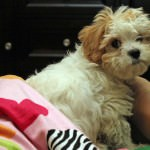Gertie Rae the Cavachon