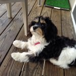 Gracie the Cavachon